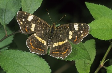 Map butterfly (Araschnia levana), second or summer generation individual