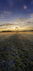 Sunset with a solitary oak tree on a frost-covered meadow, near Adelschlag, Bavaria, Germany, Europe