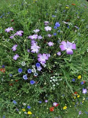 Summer meadow, Cornflowers (Centaurea cyanus), Yarrow (Achillea), Mallow (Malva), yellow Marguerites (Leucanthemum)