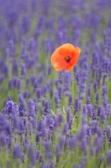 Lavender (Lavandula angustifolia) with Common Poppy or Corn Poppy (Papaver rhoeas)