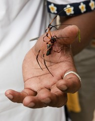 Palm spider on the hand of a Creole, La Digue Island, Seychelles, Indian Ocean, Africa