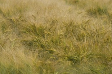 Corn field, Normandy, France, Europe