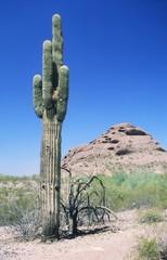 Saguaro cactus (Carnegiea gigantea), Arizona, USA, America, North America