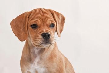 Puggle puppy, portrait