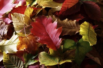 Autumn-coloured leaves of various deciduous trees
