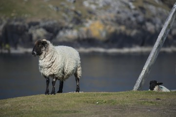 Black-face sheep with lamb on the coast, Dursey Peninsula, County Cork, Republic Ireland, Europe