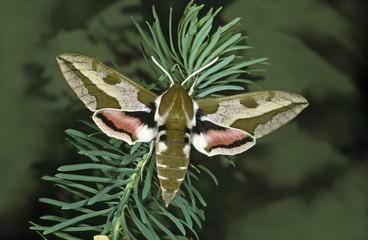 Spurge Hawk-moth (Celerio euphorbiae) on Cypress Spurge (Euphorbia cyparissias)