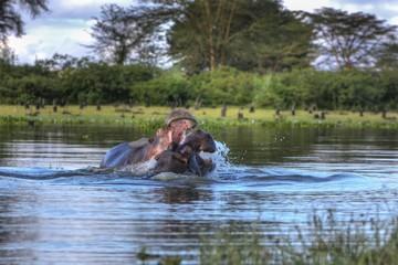 Hippopotamus (Hippopotamus amphibius), Lake Naivasha, Kenya, East Africa, Africa, PublicGround, Africa
