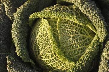 Savoy cabbage ((Brassica oleracea convar. capitata var. sabauda L.)
