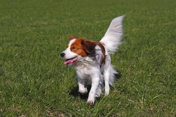 Kooikerhondje, Kooiker Hound (Canis lupus familiaris), young male dog running