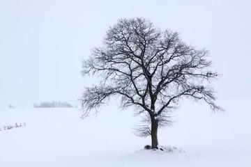 Single English Oak or Pedunculate Oak (Quercus robur) in winter fog and snow, Kluetzer Winkel, Mecklenburg-Western Pomerania, Germany, Europe