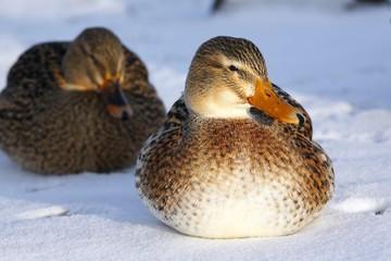 Mallard ducks (Anas platyrhynchos) in winter, females sitting in snow