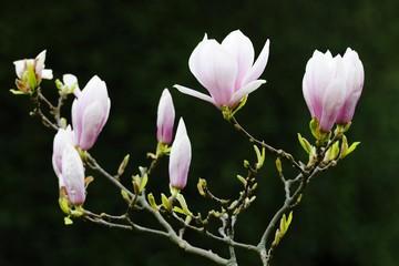 Tulip magnolia (Magnolia x soulangeana) Amabilis, cultivated variety