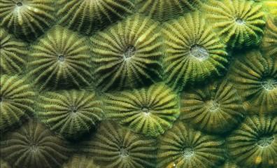 Polyps of a Stony Coral (Diploastrea heliopora), Indonesia, Southeast Asia, Asia
