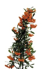 Berries of the firethorn (Pyracantha)