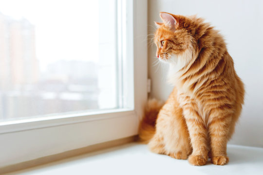 Cute ginger cat siting on window sill and waiting for something. Fluffy pet looks in window.