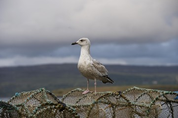 Seagull on lobster pots, Isle of Mull, Scotland, UK, Europe