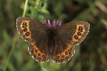 Arran Brown (Erebia ligea) drinking nectar