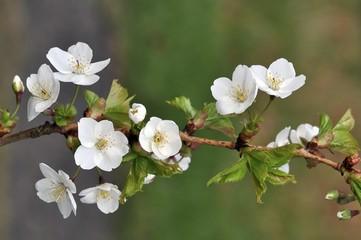 Cherry blossom branch (Prunus avium)