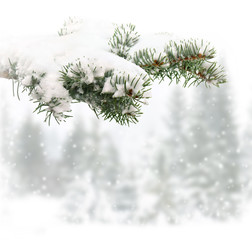 Sprig of christmas tree (spruce) in snow on a background winter fir forest during snowfall