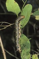 Convolvulus Hawk-moth (Herse convolvuli) caterpillar feeding on a Field Bindweed
