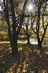 Oak trees (Quercus) suffused with light at the in the autumnal Ostpark, Munich, Bavaria, Germany, Europe
