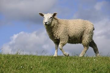 Sheep on a dyke, Soehnke Nissen Koog, North Frisia, Schleswig-Holstein, Germany, Europe