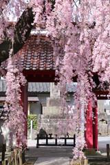 妙関寺の乙姫桜(福島県・白河市)