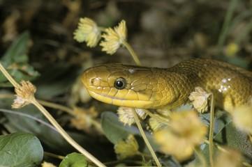 Aesculapian Snake (Elaphe longissima), portrait, Leithagegebirge mountain range, Neusiedlersee area, Austria, Europe