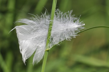Feather of a swan on reed