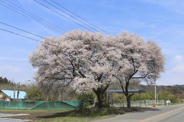 庄司戻しの桜(福島県・白河市)