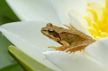 Grass Frog (Rana temporaria) on a water lily