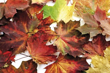 Autumn foliage, maple leaves