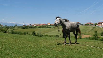 Cavallo al pascolo in Kosovo