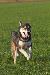 Running young Siberian Husky dog (Canis lupus familiaris) male, portrait, domestic dog