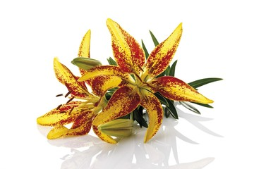 Yellow-red lilies