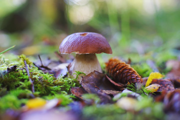 Boletus mushroom growing up in a forest in autumn