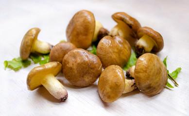 Suillus Luteus mushrooms. Variety of edible forest mushrooms Slippery Jack