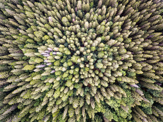 pine tree forest from above