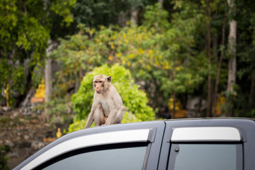 Monkey macaque sitting on the roof of a car