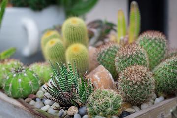 Little cactus plant in flowerpot. Many cactus for garden decoration