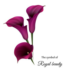 Realistic violet calla lily. The symbol of Royal beauty.