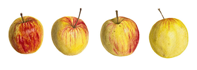 Watercolor illustration of apples