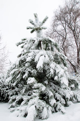 Pine tree covered with the snow