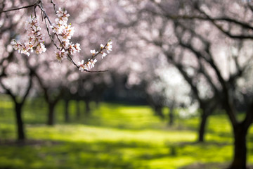 long shot of a almond tree blossom  Fotomurales