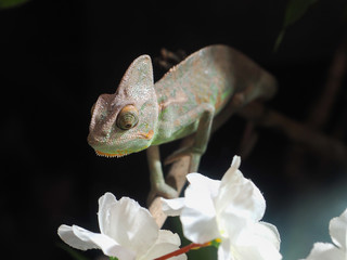 Portrait of a sad chameleon among white flowers