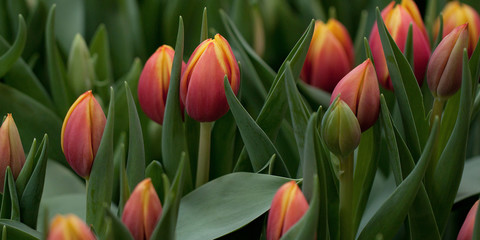 beautiful red-orange tulips on the lawn or in the field