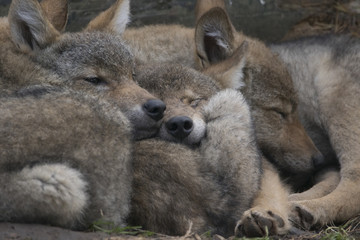 european grey wolf, Canis lupus lupus, pups sleeping together