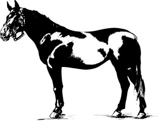 racehorse without harnesses painted black and white
