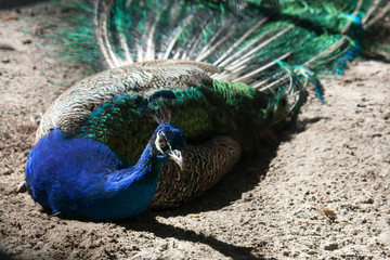peacock laying on the ground